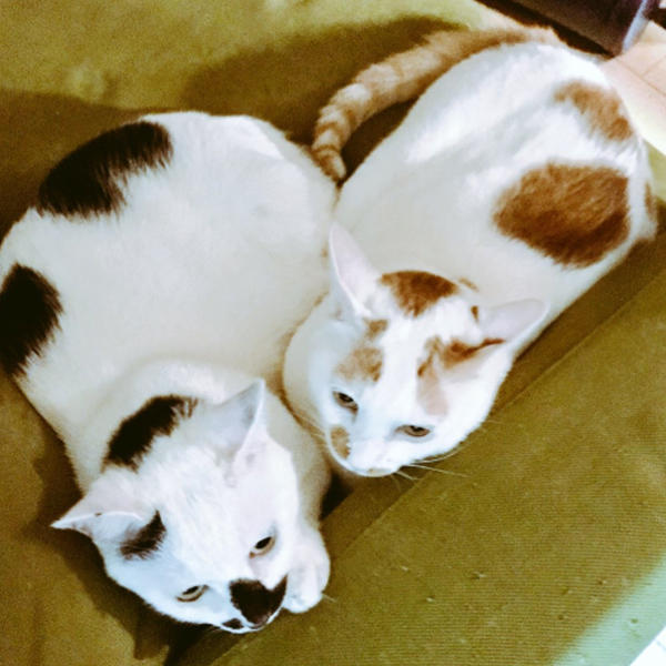 黑白的 TENMARU(左) 與 橘白 TON-ICHI(右)
