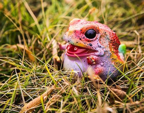 毒蛙外拍图